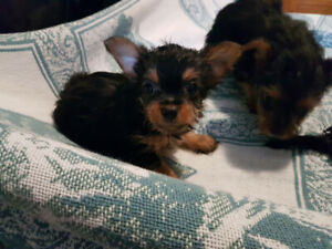 Super yorkshire puppies for sale