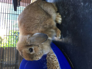 $120 Holland Lop Bunny and Cage ! Perfect Starter Home