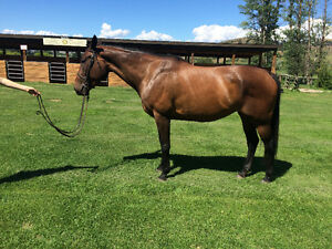 7 year old Canadian Warmblood mare