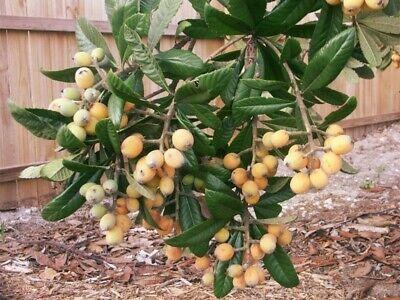 Nísperero, 8 semillas de nísperos grandes y dulces, adaptados a clima español