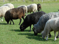 The Perfect Spinners Flock (sheep)