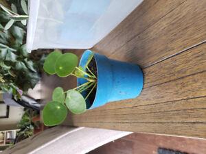 Pilea plants for sale