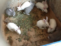 10 month old newzealand rabbit(bunny) and fish tank for sale