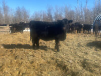 Open black angus X simmental replacement heifer