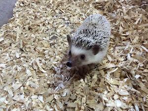 Hedgehog female 1 1/2 years old