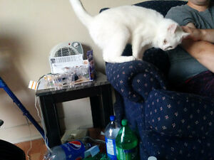 Two fixed one year old female white cats