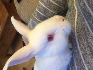 Baby new zealand mix rabbits for sale