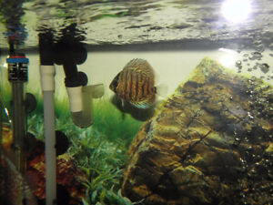 Red Tiger Discus – 2 inches
