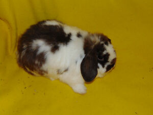 Holland Lop Female rabbit - special needs London Ontario image 7
