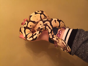 Adult ball pythons available in different morphs