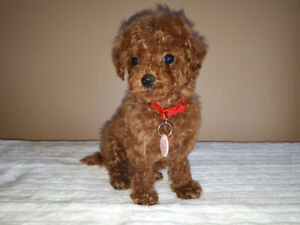 3 Female Red Tiny Toy Poodle Puppies