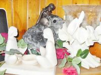 ADORABLE BABY CHINCHILLAS NOW READY TO ADOPT!