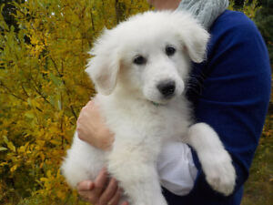 Great Pyrenean Mountain Puppies