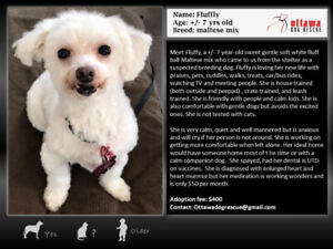 FLUFFY -+ 7 YEAR OLD MALTESE MIX