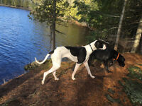 $500.00 for two 16 month old Great Danes