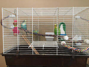 Two 4 Year Old budgies
