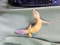 Gecko leopard femelle