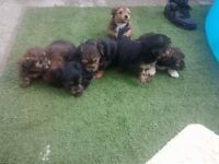 Yorkie cross Maltese puppy's for sale