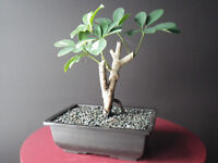 Shefflera bicolor bonsai mature / Plante d'interueur
