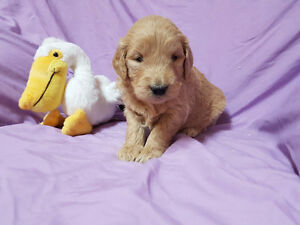 Goldendoodle puppies!! 2 females left!!