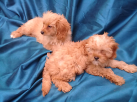 Cavapoo pups for sale