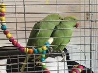 2 x 6 months old Beautiful Ringneck Parrots complete with Cage and toys