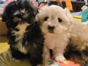 Maltipoo/Shih-Zue Mix  For Sale