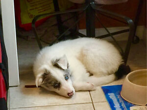 Pure Bred Border Collie- White with Grey Merle