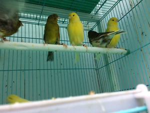 Variegated Canary's! !