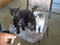 Vaccinated Kittens for Sale