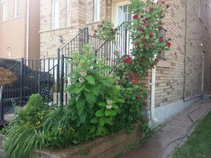 4 BEDS 3 BATH HOUSE IN THORNHILL