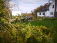 Tree removal, climbing and cleanup. Chainsaw work.