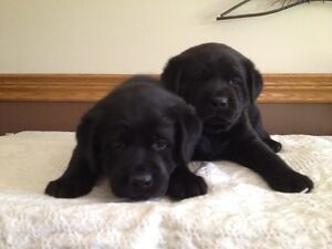Registered Black Lab Puppies For Sale
