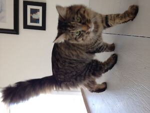 Found long haired cat- Coverdale rd