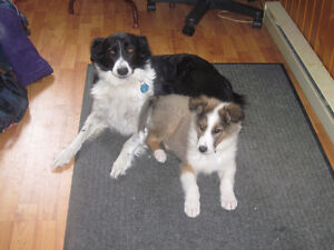 Looking for Old style Collie or Border/Australian cross.