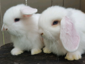 Blue eyed white holland lop baby bunnies