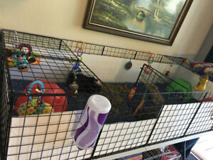 3 Female Guinea Pigs with 2x6 NEW C&C Cage!