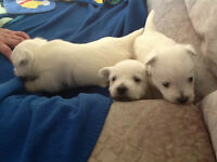 West Highland White Terrier Puppies Available