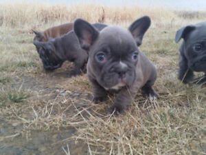 french bulldog blue for sale