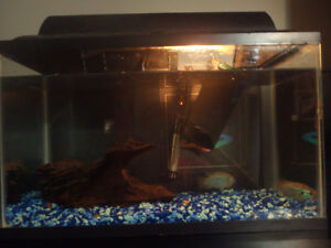 10 gallon aquarium with 2 jewel cichlids