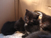 Three Adorable kittens FREE to a Good home!