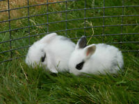 Purebred smallest Holland Lop bunny rabbits