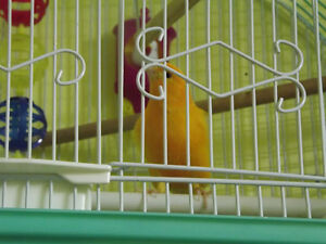 NUTHOUSE AVIARY AND PARROT RESCUE HAS 2 RED FACTOR MALE CANARies