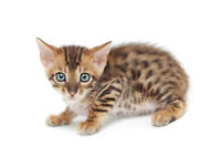OUTSTANDING SAVANNAH KITTENS - F3C Available Now!