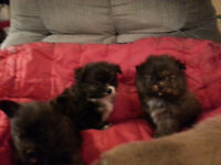 Pomeranian/Chuhuahua mixed puppies for sale