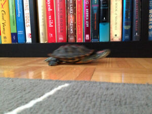 Turbo-- 5 Year Old Male RES Turtle