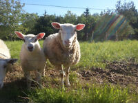 Ewes and lambs for sale!