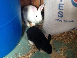 2 lapins à vendre