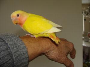 Baby Love birds