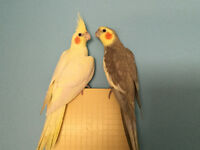 BEAU COUPLE COCKATIEL PROUVE 14 mois + cage + nid